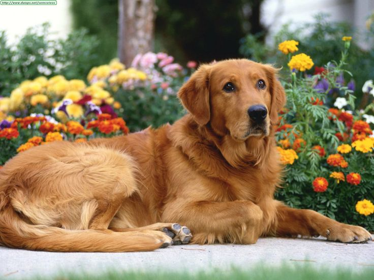 Top Cuby Chubby Adorable Dog - 10afeb80dd76c865e9bc7b820949c5ef--funny-golden-retrievers-dog-mom  Best Photo Reference_85463  .jpg