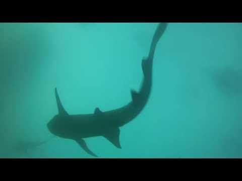 Whale shark. Maldivers - YouTube