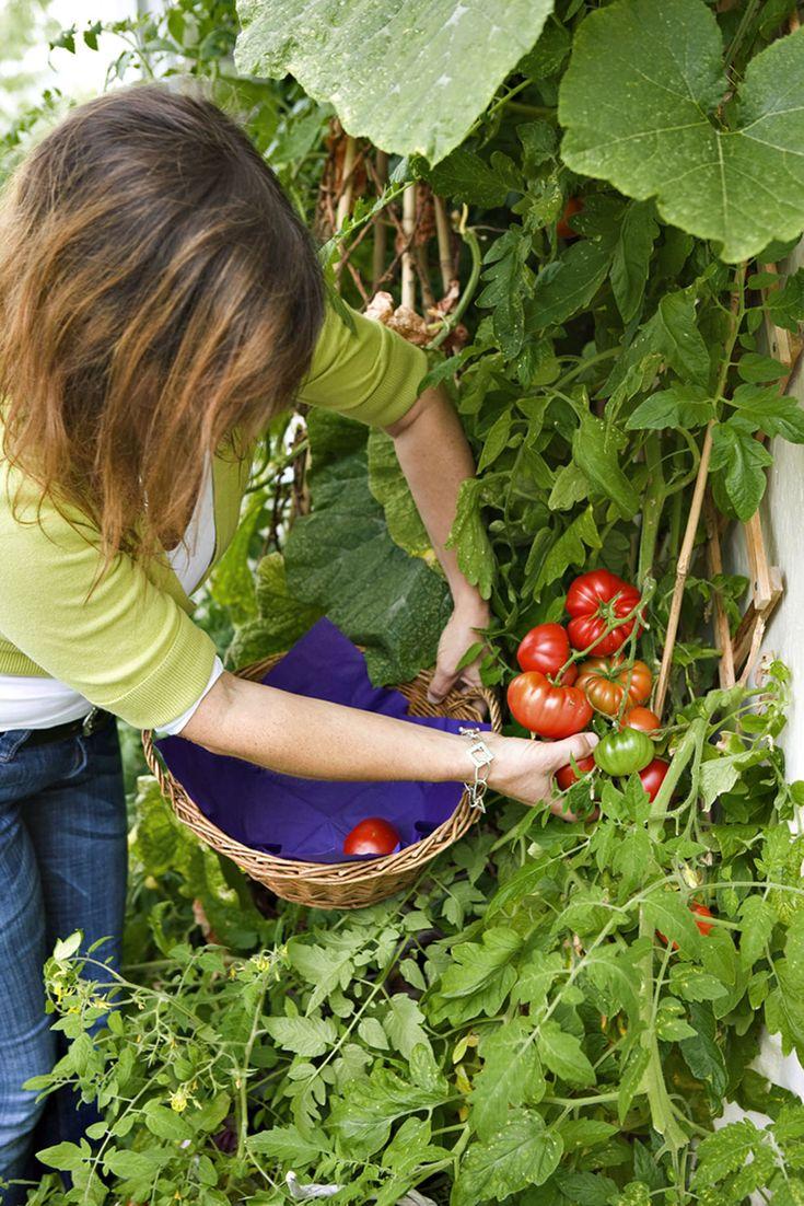 Les tomates sont ce qu'elles sont, mais on peut leur donner un coup de pouce pour qu'elles aient un peu plus de goût. Astuces…