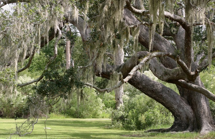 Softwood Trees In Florida ~ Live oak spanish moss nature pinterest and