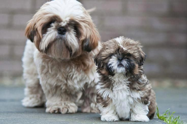 Pin By Lori Compton On Shih Tzu Love In 2020 Shih Tzu Dog Shih Tzu Puppies