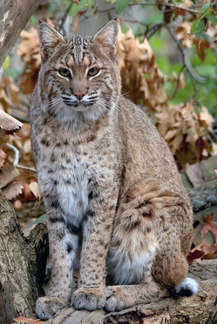 Bobcat | Paul and Cathy
