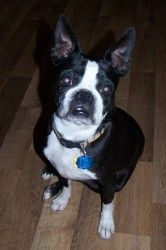 Tootsy Pop ~ American Boston Terrier Rescue is an adoptable Boston Terrier Dog in San Angelo, TX. Tootsy Pop is an amazing dog!!! Guestimated to be 5 years old and weighing about 18 pounds, she's full...