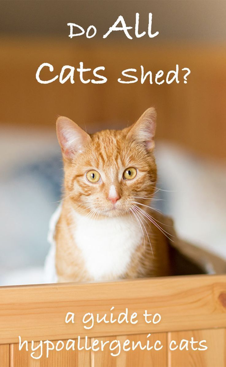 Cats That Don T Shed A Guide To Hypoallergenic Cat Breeds Hypoallergenic Cats Cat Breeds Hypoallergenic Cats That Dont Shed
