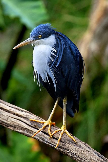 The Pied Heron also known as the Pied Egret from Australia.