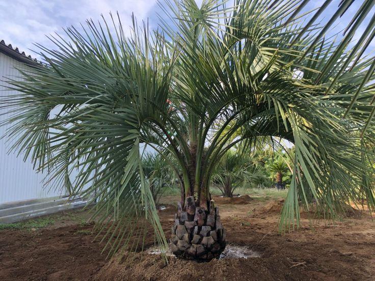 ココスヤシ 植え込み アツタガーデン ココスヤシ 植え込み 造園