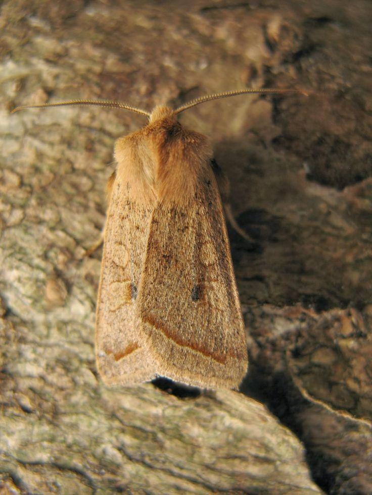 Yellow-line quaker moth