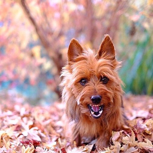 Australian Terrier Australian Dog Breeds Best Guard Dogs