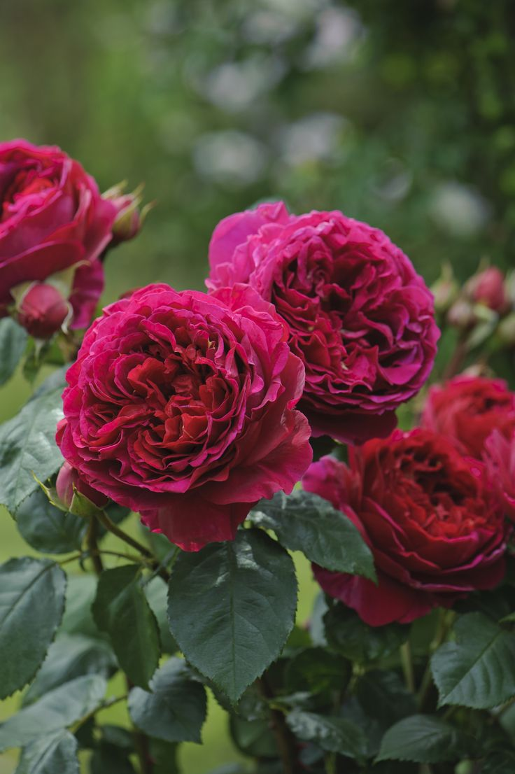 ` Heathcliff ` David Austin English Rose. (Named for the character in Emily Brontë's classic novel, Wuthering Heights)