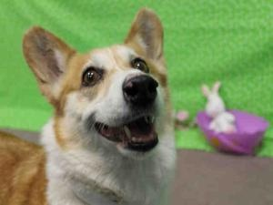 CHARLIE is an #adoptable Welsh Corgi Dog in #ColoradoSprings, #COLORADO. * I'm less active but still need 1-2 long walks a day. * I'm a little shy and need a quieter new home. * I'm nervous about being handle...