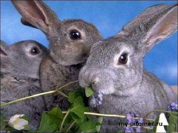 Содержание и разведение кроликов