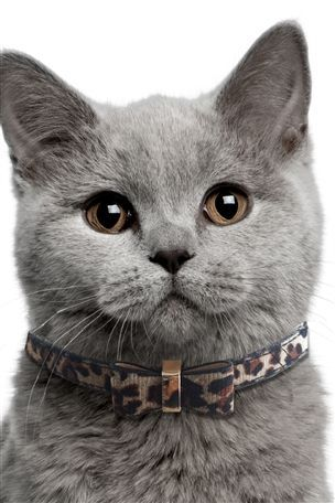 "* * "" Me say ole chap, me rather likes dis fancy collar. It be smashin', don'ts yoo think?""  [British Shorthair]"