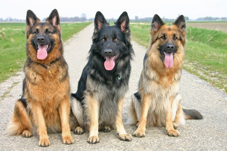 Eshna met twee vrienden, alledrie oudduitse herders