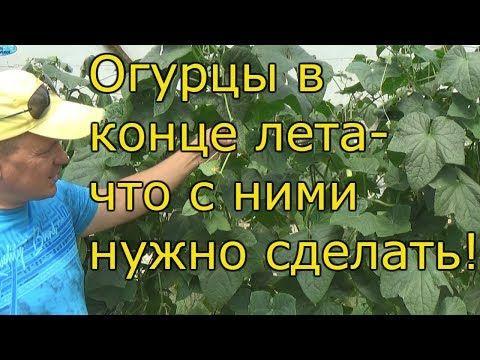 ОГУРЦЫ В АВГУСТЕ-продление плодоношения! - YouTube