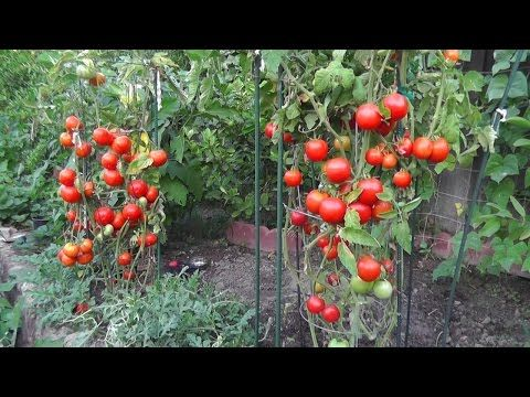 Website: http://www.MIgardener.com This is a super starter, super charger for boosting growth in your tomatoes. It is simple to do, and affordable all organi...
