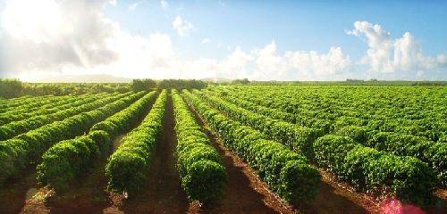 Kauai Coffee Plantation