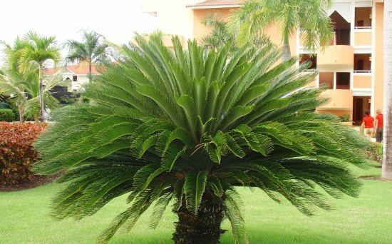 Palmeira Cica (Cycas revoluta)