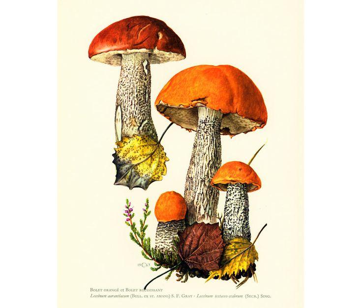 1962 Bolet Orangé Bolet Roussissant Planche Originale Champignons Illustrations Dessin Mycologie de la boutique sofrenchvintage sur Etsy