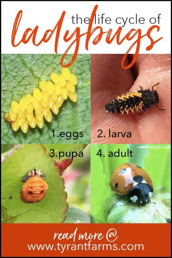 What Do Ladybug Larvae Look Like Ladybug Larvae Ladybug
