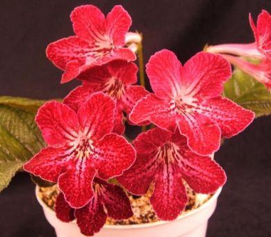 ravishing house plants care. Bristol s Ravishing Ruby  The Violet Barn African Violets and 24 best Streptocarpus Varieties images on Pinterest Houseplants