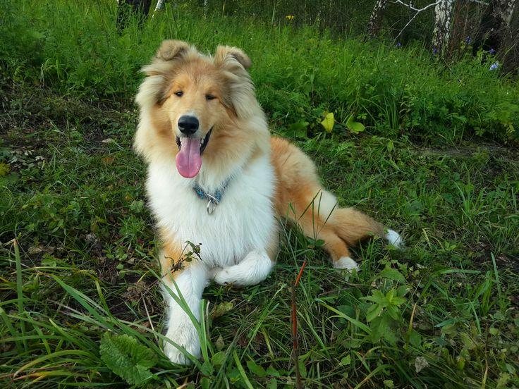 Собака-улыбака:) Колли.
