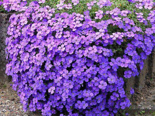 Kíváló sziklakerti növény a pázsitviola!