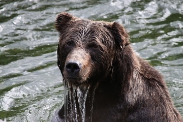 Our friend 'Bent Ear' with his bent (missing) left ear is a favorite on the Atnarko River - Great Bear Chalet photo.