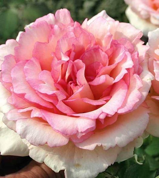 Les 25 meilleures id es concernant rosier buisson sur for Willemse fleurs