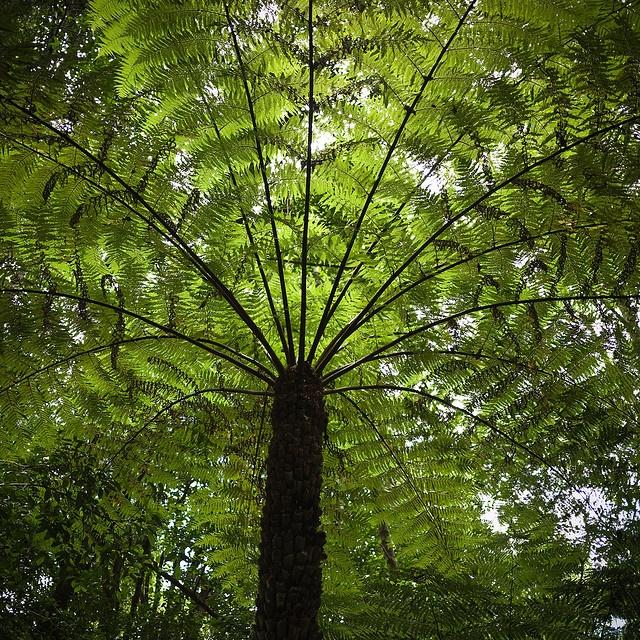 Australian umbrella fern..  A perfect umbrella  not a tree but big