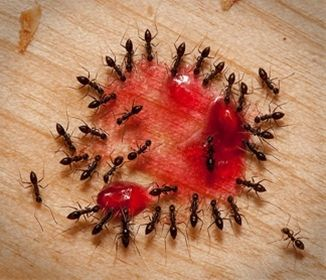 Natural ant killer - Guide to the most efficient natural ant killer - this post has a bad link but the info is good - Make a paste of Borax and jelly or syrup and put down for the ants.