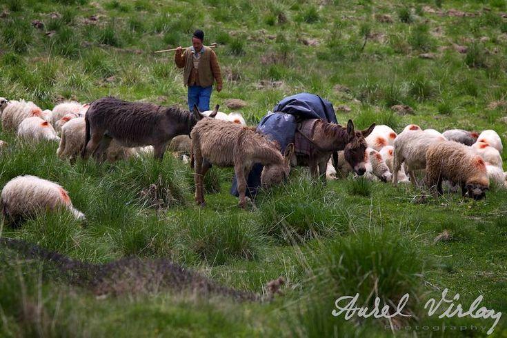 Magarii de povara ai turmei de oi pe Muntii Bucegi.