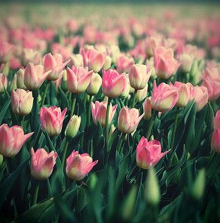 Tulipan | Flickr - tulips -happy spring