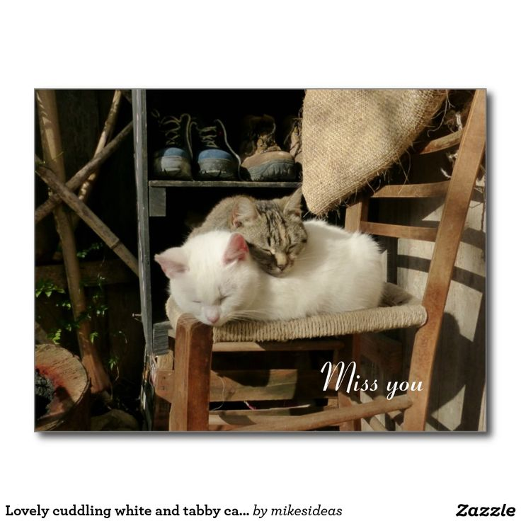 Lovely cuddling white and tabby cats postcard