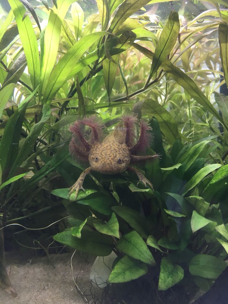 Decoration Aquarium Axolotl : Best ideas about axolotl tank on pinterest big