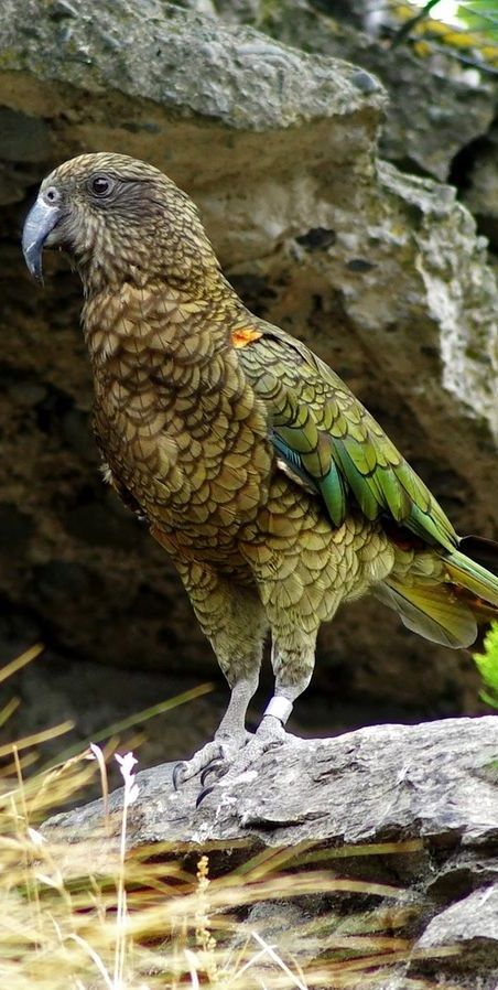 Wild Kea exist only in the South Island of New Zealand in and around the alpine areas. They nest in the beech forests at sea level on the West Coast of the South Island, in the mountain forests along the Southern Alps (as far north as Kahurangi National Park and as far south as Fiordland) and are also in the mountains as far east as Kaikoura.