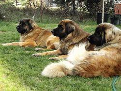 LeonbergersCreatures Large, Animal 3, Precious Animals3, Dogs Breeds, Leonberger Dogs, Animal Rocks, Dogs Pictures, Big Dogs, Gentle Giants