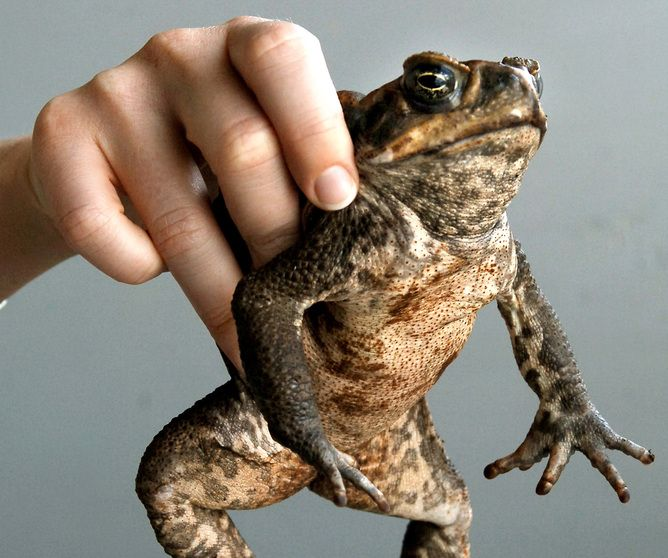 The toad we love to hate