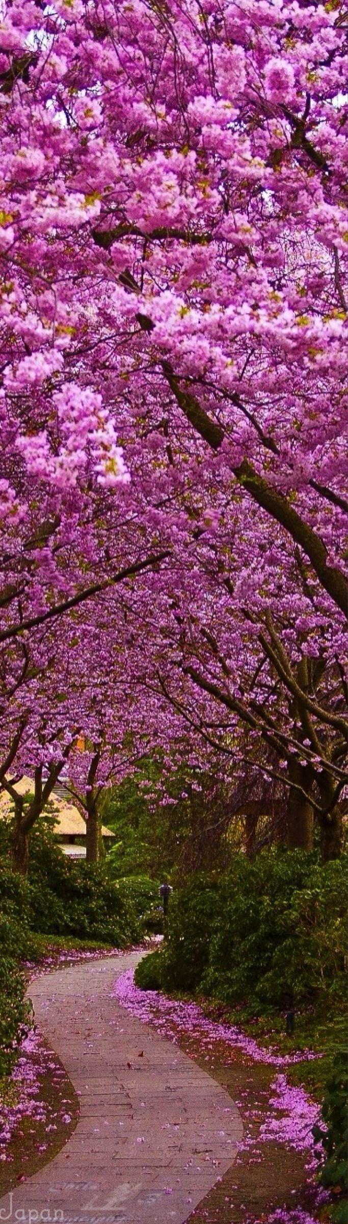 Japanese cherry blossoms _ ازهار الكرز اليابانية