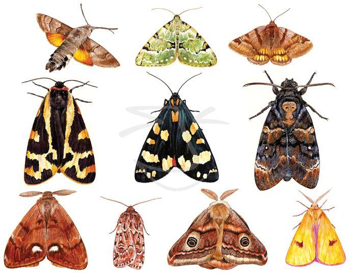 moths_grd