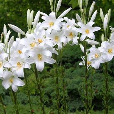17 mejores ideas sobre flor de lis planta en pinterest for Azucena plantas jardin