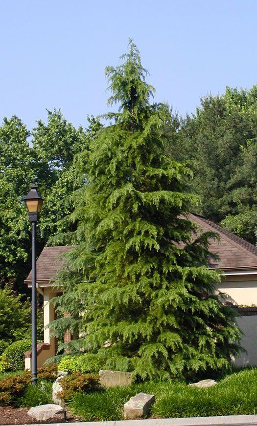 Landscaping Ideas For Cedar Trees : Dedora cedar landscaping ideas