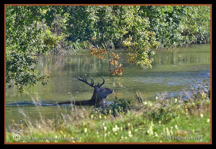 1000 PATTES - WILDLIFE GATEWAY: Le brame du cerf à Chambord