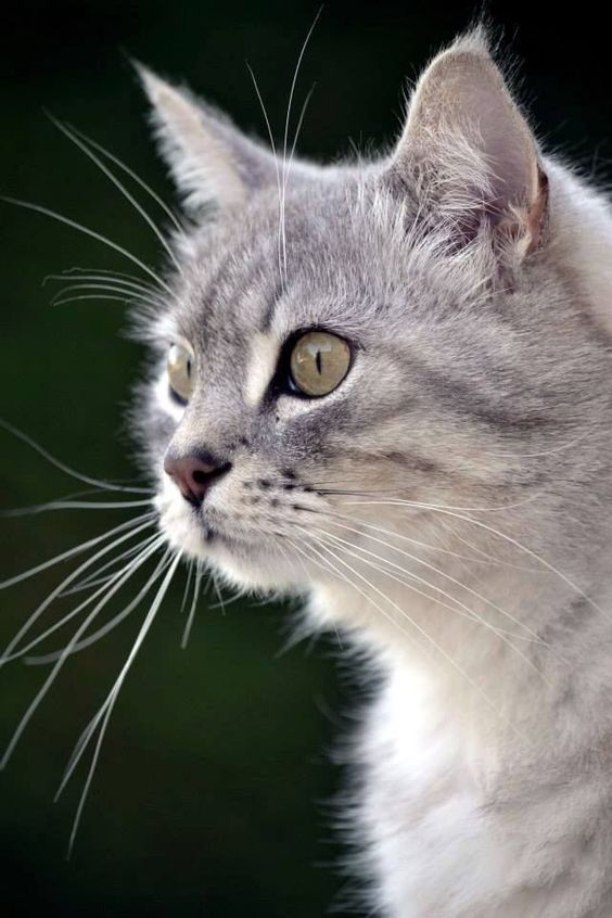 Care For Your Cat The Easy Way Try These Tips Out Today Check Out The Image By Visiting The Link Careforcat Cat Breeds American Bobtail Cat Bobtail Cat