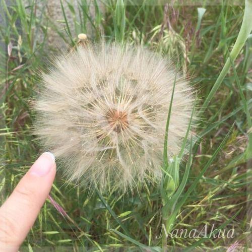 #バラモンジン #バラモンギク の #綿毛 の咲いている状態のを #安曇野市 で発見っ!  本当にでっかい!!  (ドライブ中車の中から見かけて、慌てて戻って記念撮影)