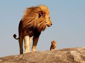 「これぞライオンキング」子を連れた堂々たる百獣の王の写真にため息の声:らばQ
