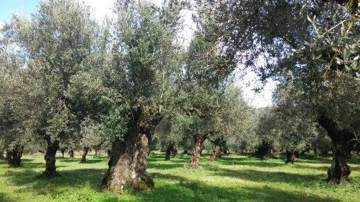 Andania - Ben Estate, #AndaniaBenEstate # #superior # category #extra #virgin #olive #oil #evoo