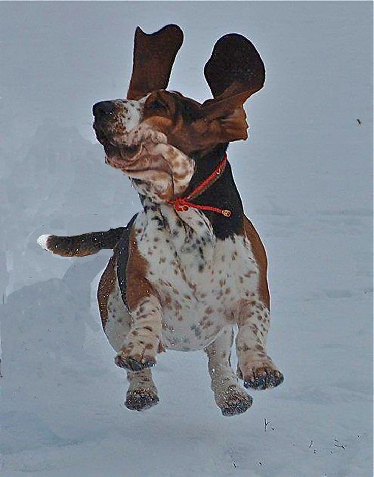 Flying Basset!
