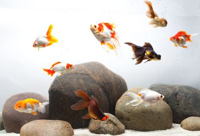 An Aquascaping Challenge: A Layout for Fancy Goldfish, Part 2 (Full Article) | Freshwater | Columns | TFH Magazine®