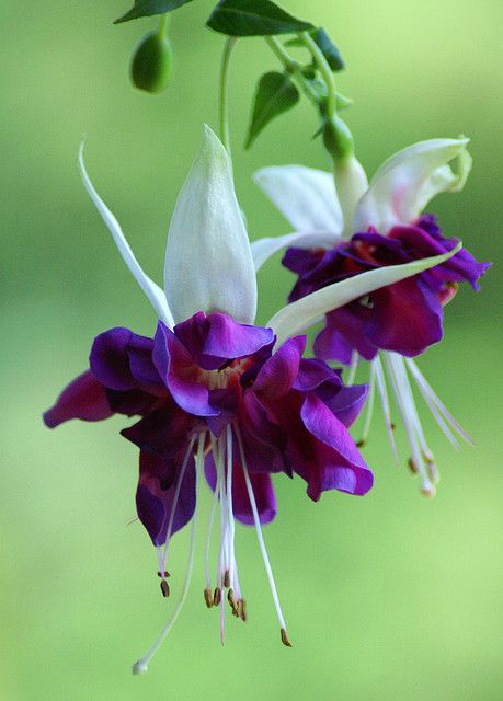 Gorgeous purple and white fuchsia by Jason Neely, via Flickr