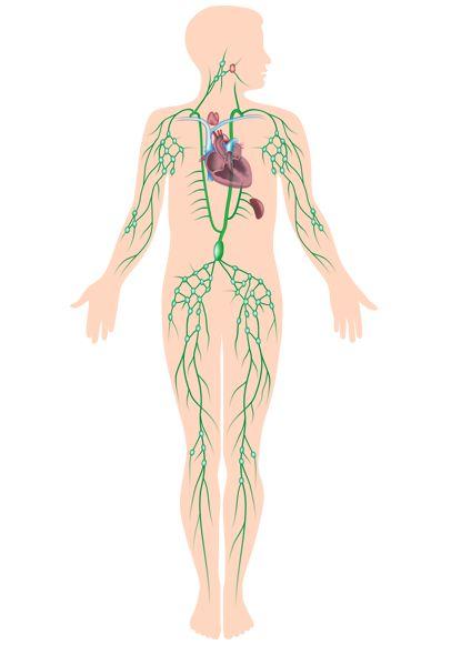Mejores 104 imágenes de Anatomy en Pinterest | Cuerpo humano ...